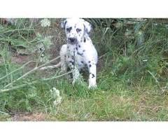 dalmatian puppies for sale houston adorable dalmatian puppies animals sugar land announcement 29348