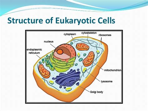 diagram of an eukaryotic cell simple diagram of a eukaryotic cell image collections