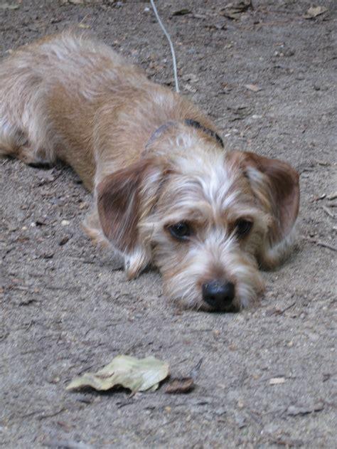 schweenie puppies schweenie puppy bentley schweenie