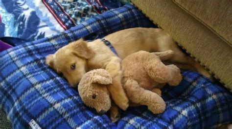 puppies cuddling 15 puppies cuddling stuffed animals viral gasp