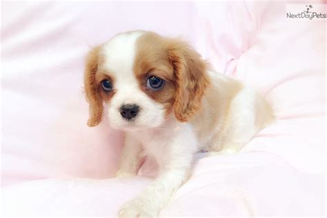 king charles cavalier puppies for sale near me cavalier cavalier king charles spaniel puppy for sale near new york city new york