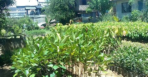 size fruit trees for sale fruit trees for sale jackfruit seedlings for sale