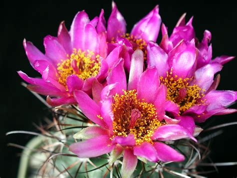 wallpaper flower big size file big cacti flowers jpg wikimedia commons