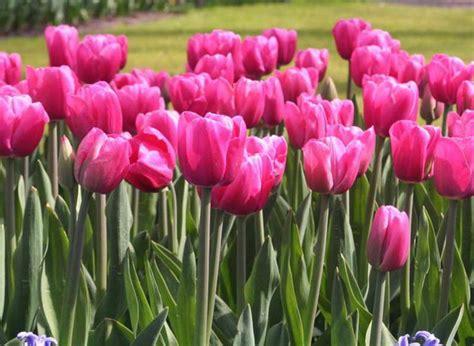 Bunga Mawar Real Touch Kuncup Merah pemandangan taman bunga tulip 74863 softhouse