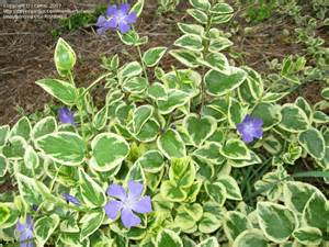 plant identification closed variegated ground cover w