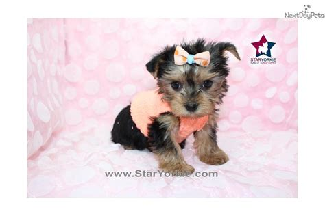 white teacup yorkies sale black and white yorkie dogs newhairstylesformen2014