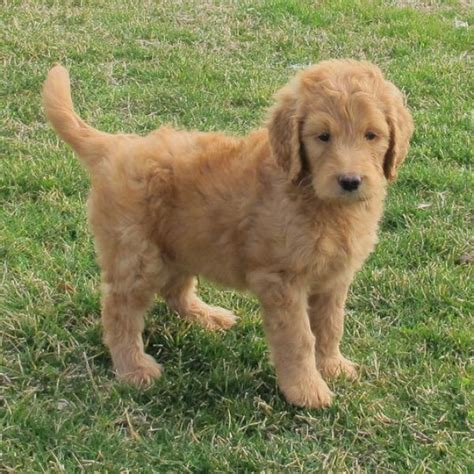goldendoodle puppy in pa 17 best images about goldendoodle on children