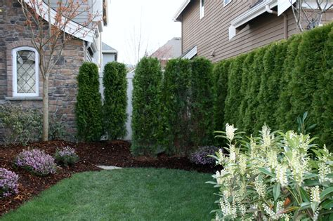 best trees for backyard privacy ideas of small trees for backyard also interesting privacy
