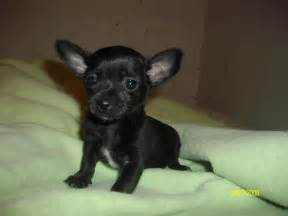 Go back gt gallery for gt black chihuahua puppies