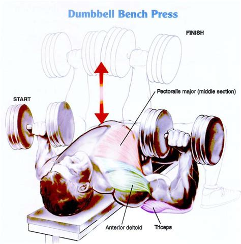 dumbbell bench press muscles worked scoliosis workouts