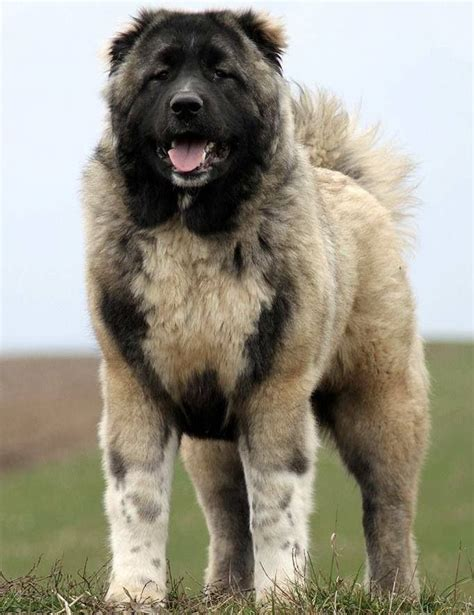 caucasian shepherd puppy large breed dogs caucasian shepherd big dogs rock the o jays