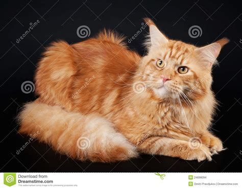 American maine coon cat stock photo. Image of black, coon