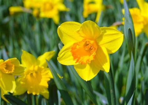 daffodil yellow daffodils how to plant grow and care for daffodil flowers the old farmer s almanac