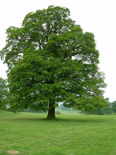 oak landscaping best 25 oak tree ideas on