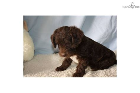 chocolate yorkie poo yorkie poo puppy one gold yorkie poo the breeds picture