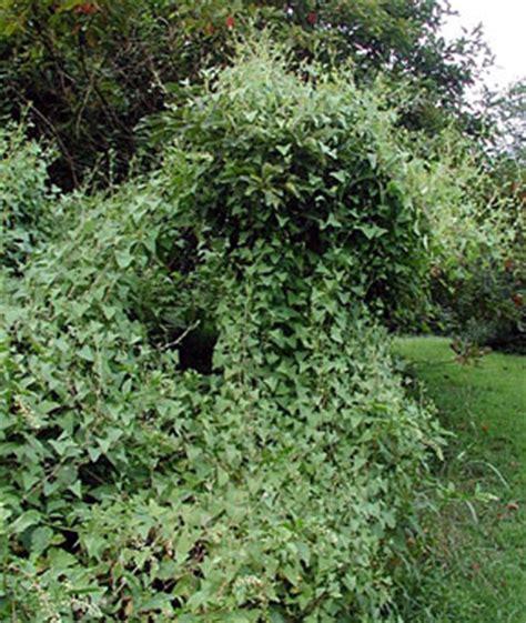 Triangle Viney invasive species mile a minute