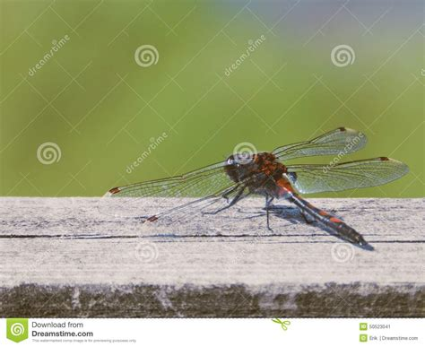 dragonfly stock image image of wings green insect
