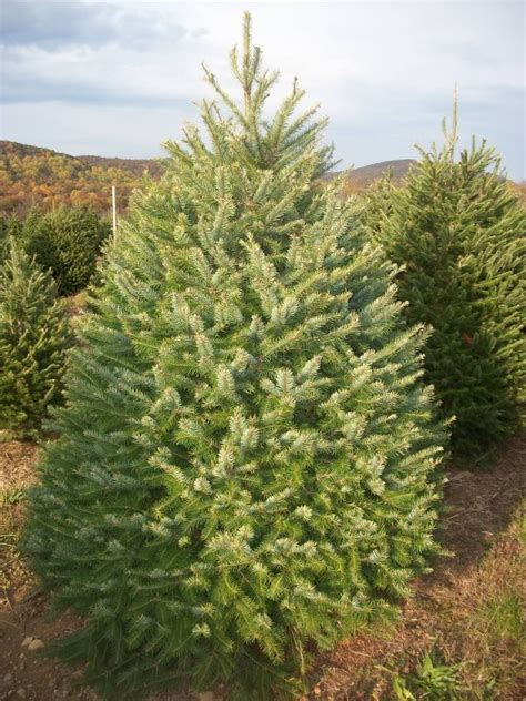 douglas fir christmas tree care about our trees evergreen valley tree farm cut your own tree in nj