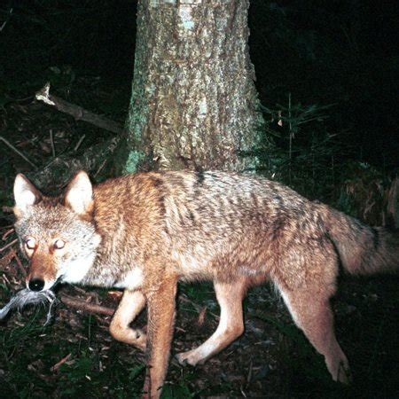 coyote mix wylie coywolf the coyote wolf hybrid has made its way to the northeast scientific