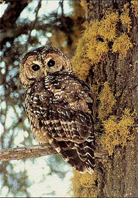 lawsuit seeks to protect california spotted owls under