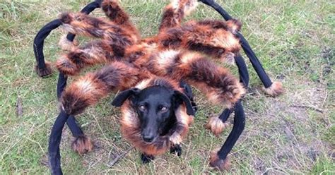 spider puppy wears spider costume at scares the crap out of everyone 171 twistedsifter