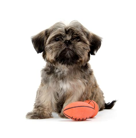 how to housebreak a shih tzu how to a shih tzu to fetch shihtzu web