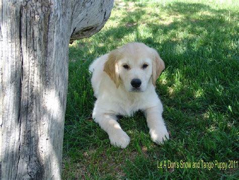 golden retriever colorado golden retriever rescue colorado photo