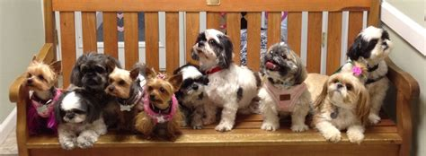 shih tzu and furbabies welcome to stfbr rescue homepage shih tzus furbabiesshih tzus furbabies