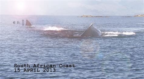 near german u boats south africa 1942 photo is atop this post as shark week looms so might giant megalodon