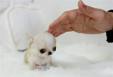 hair pomeranian for sale ohhhh so tiny micro baby abigayle micro coat sold to boutique