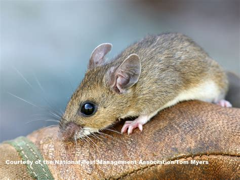 Mice Living In by Mice Facts About Mice Types Of Mice Pestworldforkids Org