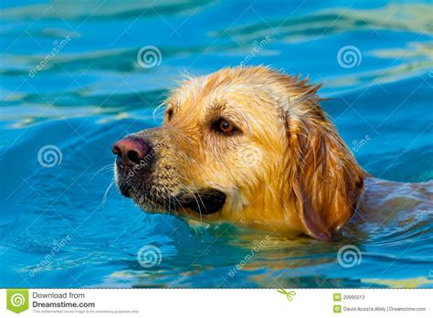 golden retriever swimming golden retriever swimming stock photos image 20995013