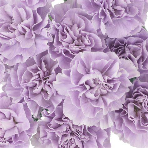 light purple flowers image flowers in bloom green lavender light purple carnation flowers