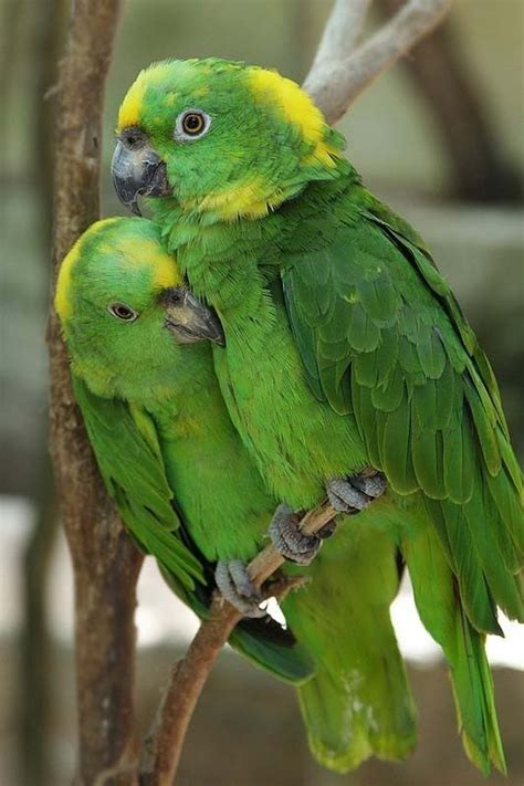 amazon parrot yellow naped amazon parrots tweeters pinterest