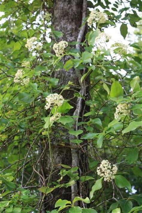 woody climbing plant climbing hydrangea woody vine needs climbing