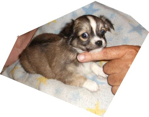 yorkie poo puppies for sale perth for sale chihuahua x papillon pups