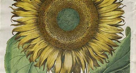 girasole significato dei fiori significato dei girasoli significato fiori qual 232 il
