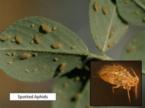 uncategorized extension entomology alfalfa aphids extension entomology
