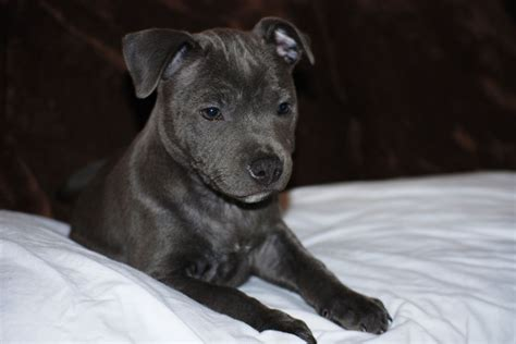 staffordshire puppies blue staffordshire bull terrier puppies kc reg deal kent pets4homes