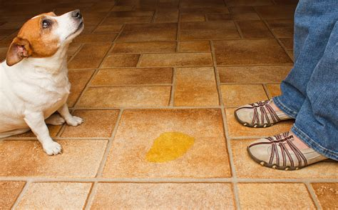 dog accidents in the house the one mistake almost every pet owner makes when a pet starts having accidents in the