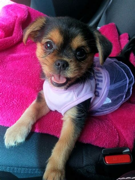 pug and teacup yorkie mix my quot porkie quot cammi pug yorkie mix photography animal and