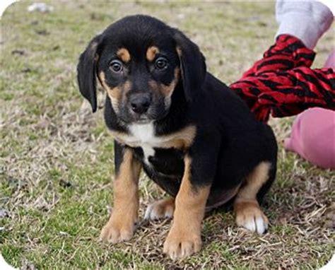 labrador retriever rottweiler mix ready for adoption black labrador retriever rottweiler mixed photo breeds