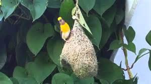 Backyard Bird Count Weaver Bird Weaving Nest In Our Backyard Rishikesh Youtube