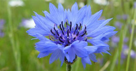 fiordaliso fiore fiori di fiordaliso un delicato sollievo per occhi