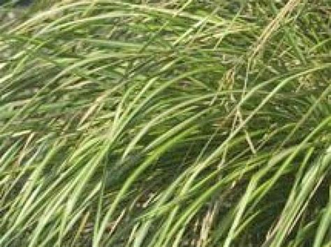 Types Of Decorative Grasses by Types Of Ornamental Grasses Landscaping Ideas And