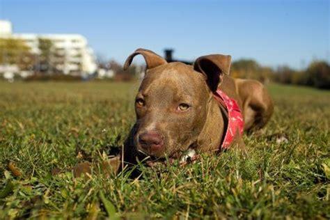 Pit Bull Terrier Shedding by Nose Pitbull Hd Desktop Wallpaper