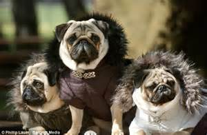 lord pug california dresses their pugs as lord of the rings characters because why not