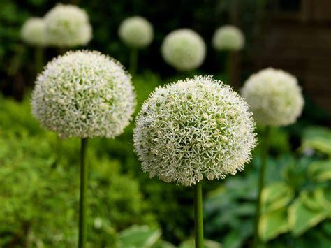 allium white giant j m van berkel snijbloemen en bloembollen