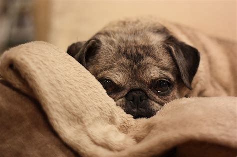 pug mast cell tumor the pug tags cancer owned by pugs