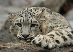 How Many Jaguars Are Left In The World Today Threats To Snow Leopards
